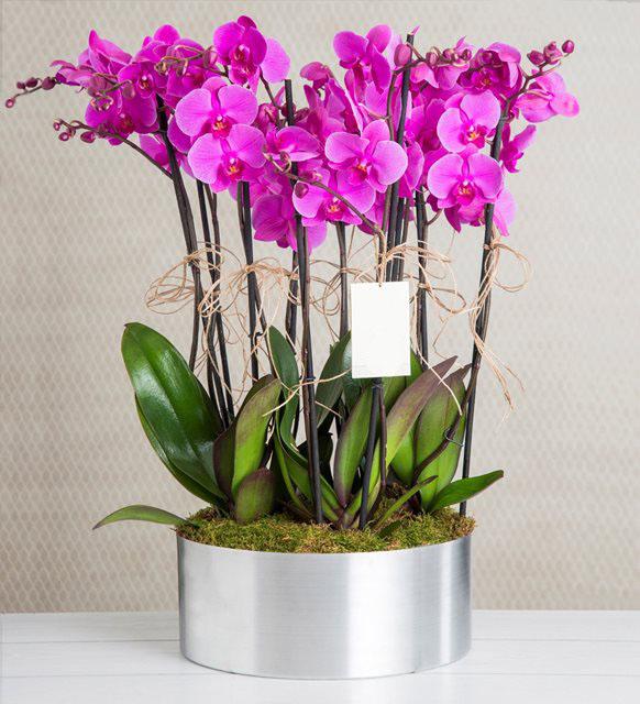 10 Purple Orchid