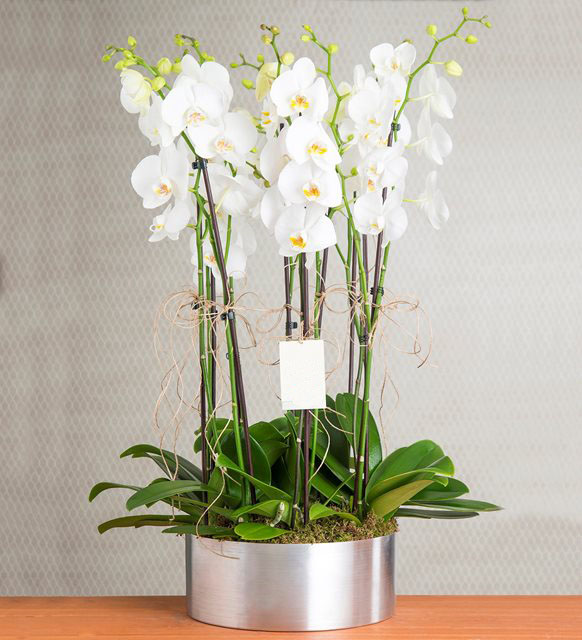 8 Branches White orchid