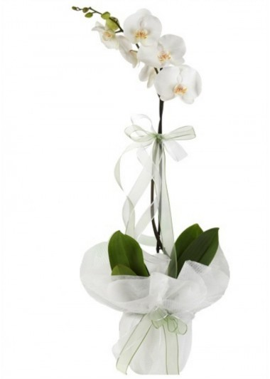 1 Branch White Phalanopsis Orchids