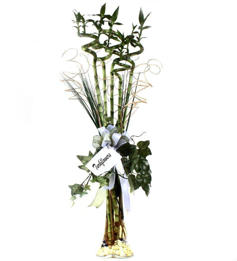 lucky bamboo 5 stem