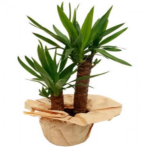 Yucca Plant 2 stem