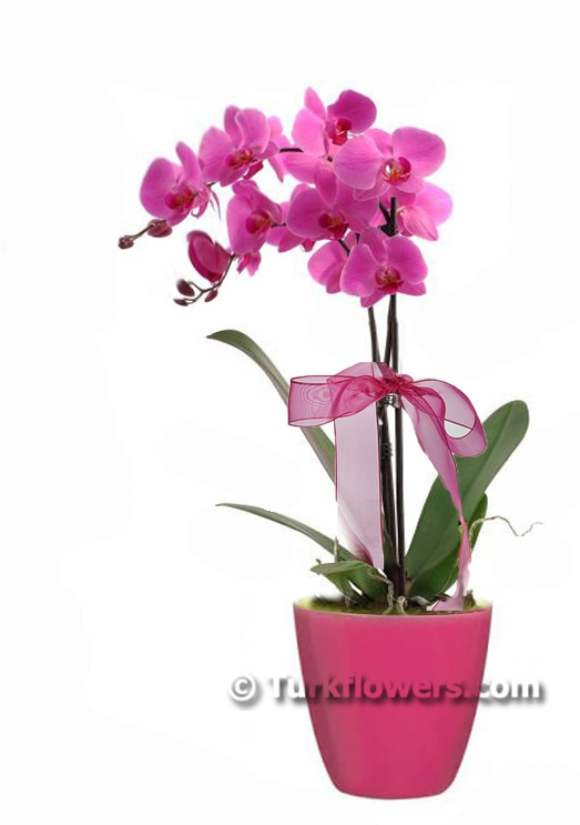 pink-colorful-double-orchid