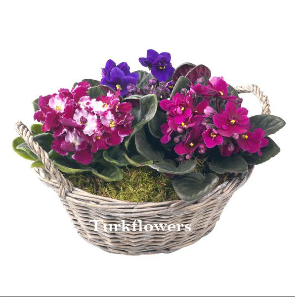 mixed-african-violet-basket