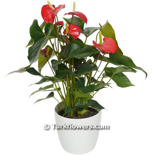 interior-plant---anthurium-red